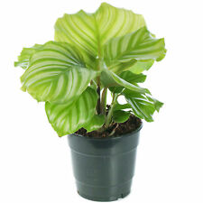 Calathea Peacock Plant Indoor Potted Plant for Home or Office