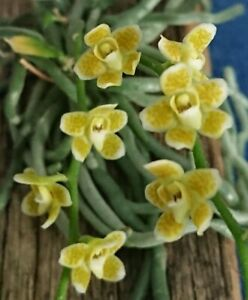 Orchid Chiloschista extinctoriformis Mounted Species  In Flower