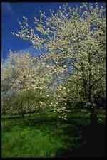 266076 Apple Blossom Season A4 Photo Print