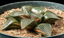 Haworthia 'Windex' x bayeri variegata specimen