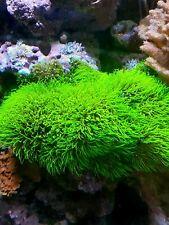 Green Star Polyps-Live Coral Frag-Branching-Gsp-Saltwa ter Reef
