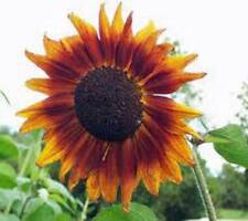 SUNFLOWER, AUTUMN BEAUTY 100 SEEDS ORGANIC NEWLY HARVESTED, VIVID COLORFUL BLOOM