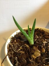 Aloe Vera Plant Succulent Barbadensis Miller young baby plants