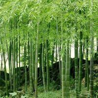 China Riesenbambus Samen 100 Stück Moso Bambus - Winterfest Sichtschutz