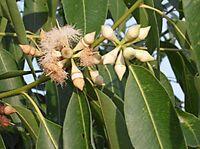 50 seeds pflegeleichter Ranker 50 Samen Trompetenblume Campsis radicans