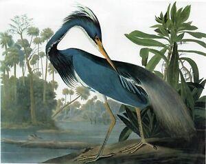 Birds of America Louisiana Hero  8 x 10  Art Print