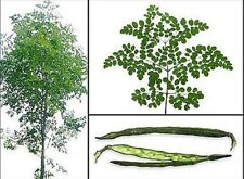 Malunggay Vegetable Seeds Herb Moringa OLEIFERA 25 SEEDS