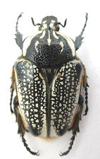 Goliathus orientalis (meleagris) Weibchen ex Katanga/ Afrika Länge:63,14mm K8-5