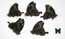 Papilio oribasus 5pcs wholesale butterfies good for artwork and frames