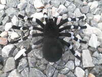 Large Spider Fake Halloween Prop Black White Fuzzy Tarantula Flocked Frightening