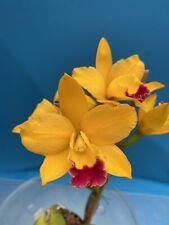 Blc Carolina Orange D'or 'Krull' X Lc Tropical Aurora 'Svo' 4� Spike (15) 6413