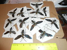 Megascolia procer javanensis Adult Males 8 Lot Displayed With Wings Spread