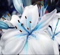 USA-Seller 50pcs Blue Lily Plant Seeds Potted Bonsai Lilium Flower Perfume Plant