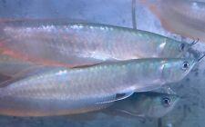 New listing Live Tropical Fish -silver Arowana 11-12 Inches Greenish Base