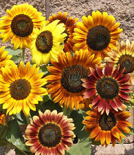 Sunflower Autumn Beauty Mixed Color 100 seeds * Cut Flower * CombSH J24