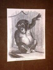 Le nouveau Chimpanzé du Jardin d'acclimatation Anne 1869