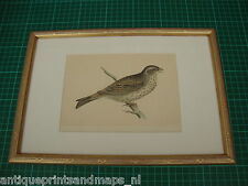 Antique framed print passerine bird Bunting / antieke vogel prent Zangvogel gors