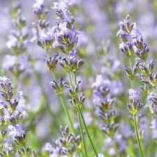 Lavendel Absolue naturreines Öl 1,5ml ätherisch - top2base