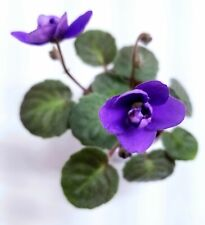 African Violet Enchanted Waterfall Sport - Starter Plant/Plug (Very Fuzzy)