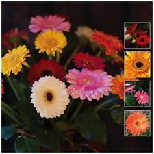 GERBERA Vibrant Collection x30 Seeds. Cut flower. Bright colours. Premium var
