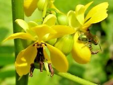 25 Maryland Wild Senna Seeds - Senna marilandica