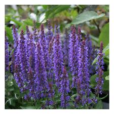 "Salvia nemorosa Sensation Deep Blue Improved.-Perennial Sage Plant in 3.5"" pot"