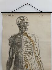 Antique Anatomy Poster Of The Nervous System Original School Anatomical Plate