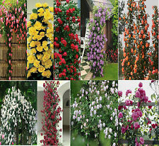 Rare Climbing Rose Seeds 9 Types (5 seeds each) +Other Rose Seeds free