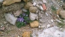 6 SEMI Mandragora o Mandragola (disambigua).pianta delle streghe, semi originali