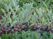 Plum the dwarf (Cerasus pumila = Prunus pumila) 30 seeds