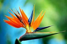 BIRD OF PARADISE FLOWER SEEDS - BULK *****