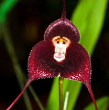FD1402 Fresh Rare Red monkey Face Orchid Seeds Beautiful Flowers seed ~10 Seeds~