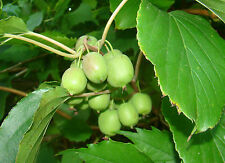 rare fruit climber vine 3x Baby (Mini) Kiwi ACTINIDIA ARGUTA starter plants 1POT