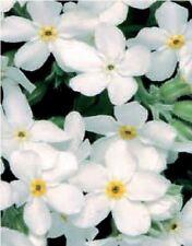 Flower - Forget Me Not - Myosotis - Sylvia White - 100 Seeds