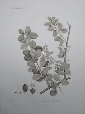 Gravure de la Description de l'Egypte Histoire naturelle  Botanique 1809 / 1826