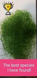 Chaeto Chaetomorpha Macro Algae 1 Cup Refugium Live Copepods Amphipods