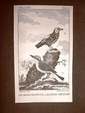Merlo di rocca e Gran Tiranno Incisione rame del 1813 Buffon Uccello Ornitologia