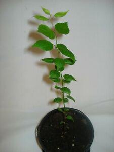 Apricot Tree seedling Prunus Armeniaca Lady Cot UK Hardy