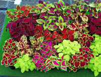 Seeds Indoor Coleus Mix Black Chocolate Red Dragon Exotic Flower Annual Ukraine