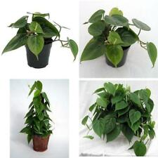 "Heart Leaf Philodendron Easiest House Plant Live Grow 4"" Pot Indoor Houseplant"