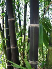 40 Giant Black JAVA Bamboo Seeds, Rare & Hard To Find USA SELLER FAST SHIPPING