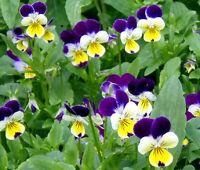 JOHNNY JUMP UP Viola Tricolor - 2,500 Bulk Seeds