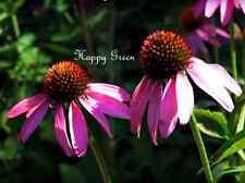 Purple Coneflower - RUBY STAR - 300 SEEDS - Echinacea purpurea