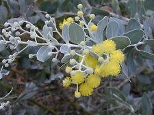 8 graines de Mimosa Argenté d'Automne(Acacia Podalyriifolia)H155 SEEDS SEMILLAS