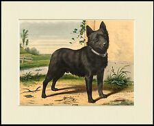 SCHIPPERKE CHARMING LITTLE DOG PRINT MOUNTED READY TO FRAME
