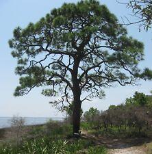 30 Semillas de Pinus Elliotti