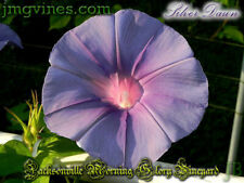 Silver Dawn Japanese Morning Glory 6 Seeds