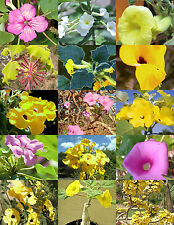 UNCARINA variety MIX, magadascar plant  caudex succulent desert bonsai  5 seeds