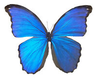 HUGE Blue Morpho didius REAL BUTTERFLY FAST FROM USA SHIPPING! Unmounted A1
