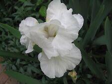 BEARDED IRIS RHIZOMES x 3 (White)